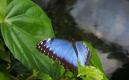 Раскройте peleides morpho на зеленых лист в саде Стоковая Фотография