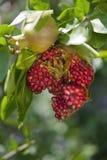 Раскройте pomegranates на ветви в вале Стоковые Фото