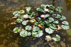 Раскрытые лилии на воде Стоковая Фотография