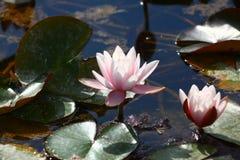 Раскрытые лилии на воде Стоковые Изображения RF