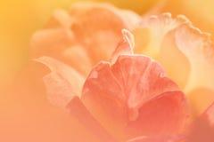 Раскрытые розы в мягком цвете Стоковое Фото
