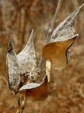 Раскрытые стручки milkweed Стоковое Изображение