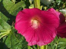 Раскрытый бутон просвирника лепестки цветка красные кровопролитное стоковое изображение