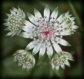 Раскрытый зеленый цвет цветка Стоковое Фото