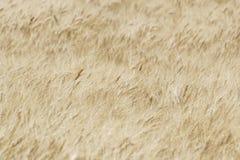Расплывчатое пшеничное поле, абстрактная предпосылка Стоковое Фото