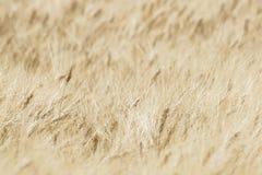 Расплывчатое пшеничное поле, абстрактная предпосылка Стоковые Изображения