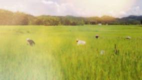 Расплывчатые предпосылки поля риса весны с пирофакелом солнечного света и объектива стоковое изображение