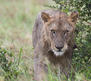 Распорка льва стоковые изображения