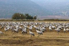 Располагаются перелётные птиц в национальном птичьем заповеднике Hula в северном Израиле стоковое фото