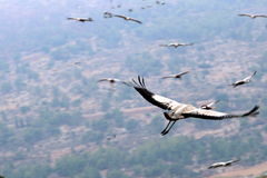 Располагаются перелётные птиц в национальном птичьем заповеднике Hula в северном Израиле стоковые изображения rf