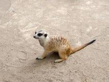 Распологать Meerkat Стоковые Фото