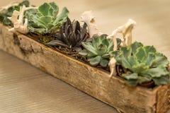Расположение суккулентных цветков в деревянном баке Стоковая Фотография