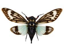 распространение цикады Стоковое Изображение