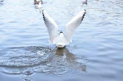 Распространите крыла Стоковая Фотография RF