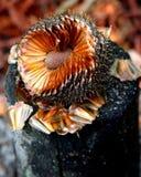 Распространите семя Стоковое Изображение RF