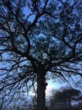 Распространяя большая сосна под голубым небом стоковые фото