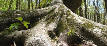 Распространяя корни дерева Стоковые Изображения RF