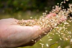 Распространяя крупный план семян Стоковые Изображения RF