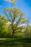 Распространяя дуб в парке Стоковые Изображения