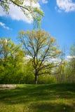 Распространяя дуб в парке Стоковое фото RF