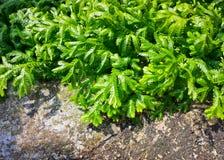 Распространяя clubmoss или kraussiana selaginella Стоковые Фото