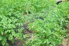 Распыляя картошки против жука картошки Колорадо стоковые изображения rf