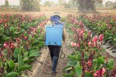 Распыляя пестицид в разделе Canna стоковое фото