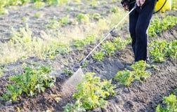 Распыляя пестицид листьев картошек стоковые фотографии rf