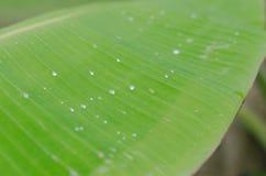 Расплывчатая предпосылка зеленых лист банана в фокусе крупного плана мягком Стоковые Фото