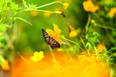 Расплывчатая предпосылка с бабочкой на цветке космоса Стоковое Изображение