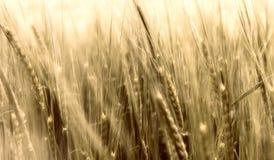 Расплывчатая пшеница в ветре Стоковое Изображение