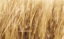 Расплывчатая пшеница в ветре Стоковое Изображение RF