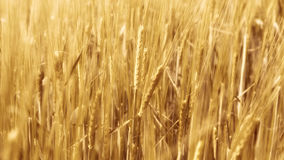 Расплывчатая пшеница в ветре Стоковое фото RF