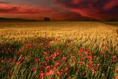 Рассветайте с взглядом на пшеничном поле и маках Стоковое Изображение RF