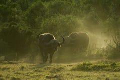 рассвет буйвола стоковые изображения rf