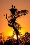 Рассвет на гнезде аиста jabiru Стоковая Фотография RF