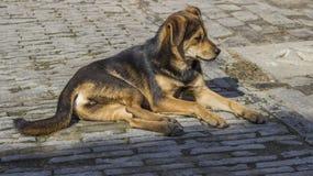 Рассеянная собака Стоковые Изображения