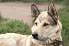 Рассеянная собака Стоковая Фотография