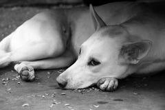 Рассеянная собака стоковая фотография rf