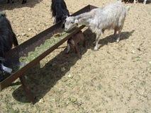 Рассеянные козы в пустыне Саудовца ища для еды стоковое изображение