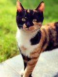 Рассеянный кот вытаращить на камере Стоковые Фотографии RF