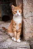 Рассеянный кот улицы в историческом Дубровнике, Хорватии Стоковое Изображение RF