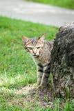Рассеянный кот Tabby пряча за утесом около пути Стоковое фото RF