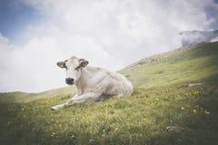 Расслабленная белая корова на выгоне в итальянских горных вершинах Стоковые Изображения