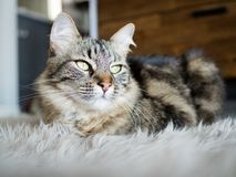 Расслабленный мраморизованный кот на сером половике меха стоковая фотография