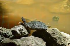 Расслабляющая черепаха реки, на утесах около пруда Стоковое Изображение RF