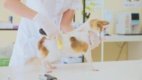 Рассматривать в ветеринарной клинике Ветеринар расчесывая собаку во время экзамена Концепция любимчика акции видеоматериалы