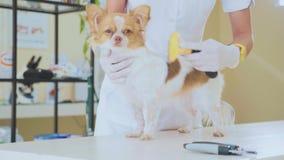 Рассматривать в ветеринарной клинике Ветеринар расчесывая собаку во время экзамена Концепция любимчика видеоматериал