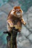 рассматривая обезьяна Стоковая Фотография RF