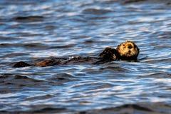Расслабленная морская выдра Стоковые Фото